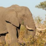 Africa's elephant population drops to 415,000 due to poaching