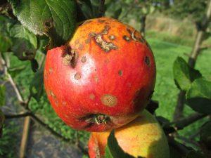 apple-455436_960_720