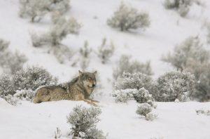 wolf-1327039_960_720